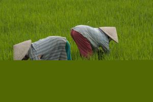 Tending Rice Fields around Phong Triu in the Danang Area of Vietnam by Karen Kasmauski