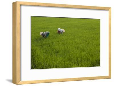 Tending Rice Fields around Phong Triu in the Danang Area of Vietnam