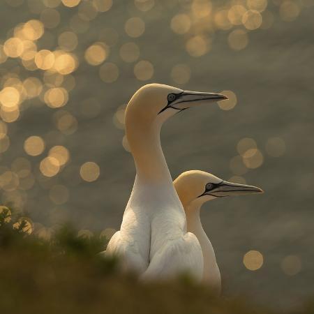 karen-kolbeck-gannets-in-sunset