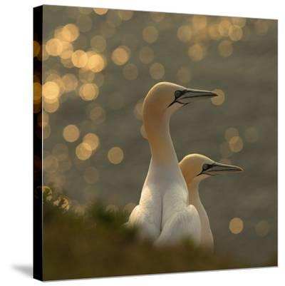 Gannets In Sunset