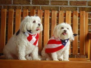 Maltese Dogs Wearing the American Flag by Karen M. Romanko