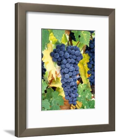 Cabernet Sauvignon Grapes, Napa Valley, California