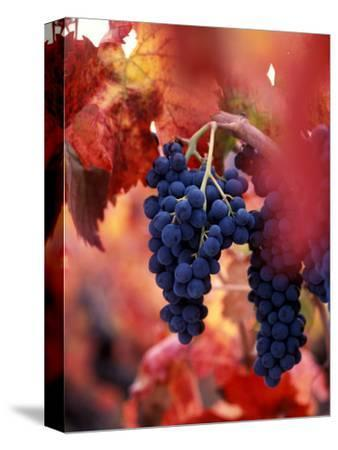 Old Barbera Vines with Ripening Grapes, Calistoga, Napa Valley, California