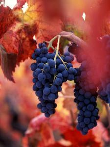 Old Barbera Vines with Ripening Grapes, Calistoga, Napa Valley, California by Karen Muschenetz