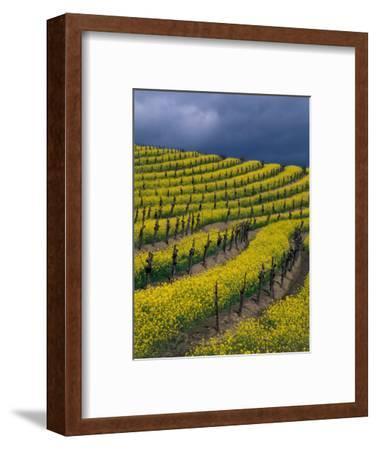 Springtime Mustard Blooms, Carneros Ava., Napa Valley, California
