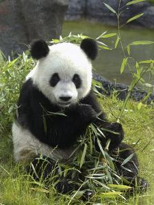 Tennessee, Memphis, a Giant Panda, on Loan to the Local Zoo, Enjoys a Snack of Bamboo Shoots by Karen Pulfer Focht