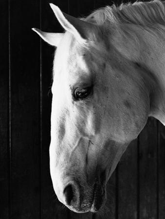 Portrait of a Lipizzaner Horse by Karen Tweedy-Holmes
