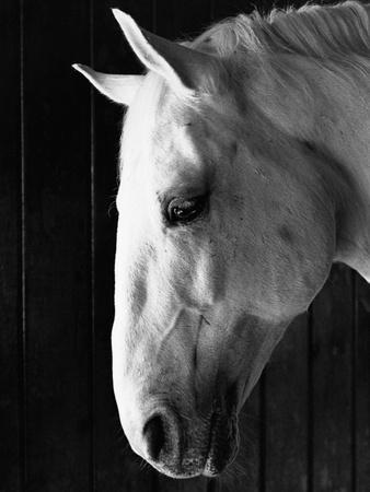 Portrait of a Lipizzaner Horse
