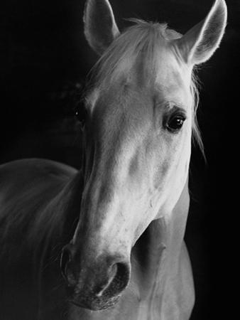 Portrait of Lippizaner Belvedere Napolitano by Karen Tweedy-Holmes