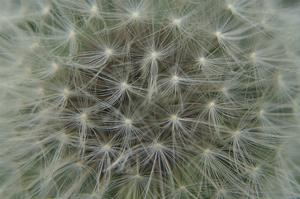 Dandelion Puff by Karen Ussery