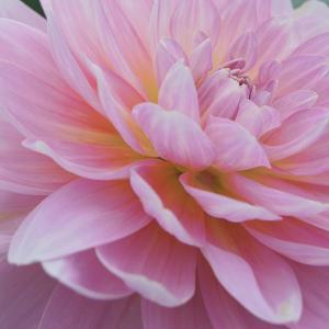 Dreamy Dahlia by Karen Ussery