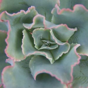 Lettuce Leaf Succulent by Karen Ussery
