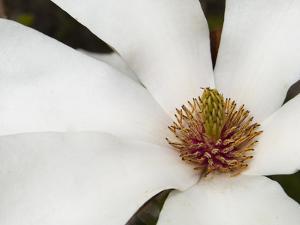 Magnolia Bloom by Karen Ussery