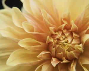 Peach Dahlia One by Karen Ussery