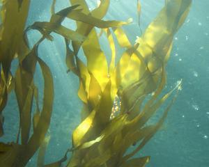 Sea Kelp 4 by Karen Ussery