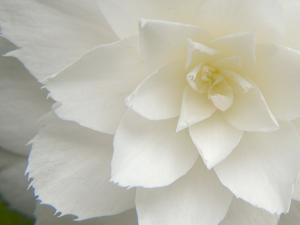 White Camellia by Karen Ussery