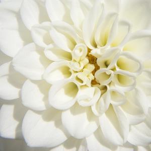 White Dahlia by Karen Ussery