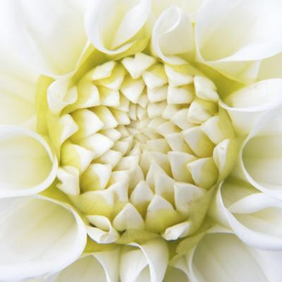 White Dahlia by Karen Ussery