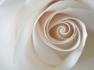 White Rose Swirl by Karen Ussery