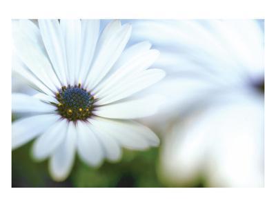 Daisy Blue I