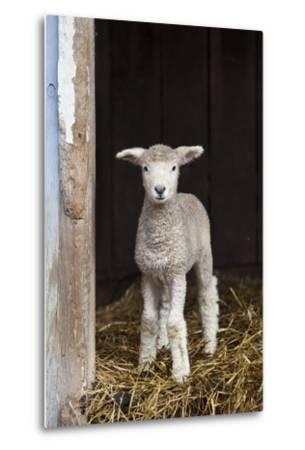 A Baby Romney Lamb Stands in a Barn On Some Hay