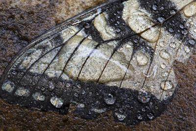 A Fallen Butterfly Wing Lies on the Rocks Covered with Raindrops and Water by Karine Aigner