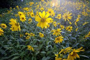 A Field Of Yellow Daisy Like Flowers Backlit By The Sun by Karine Aigner
