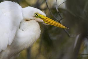 A Great Egret Stares Into The Distance. Blackwater Wildlife Refuge. Cambridge, MD by Karine Aigner