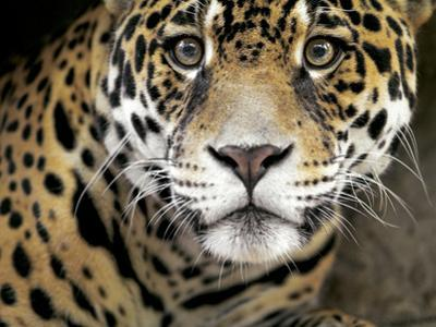 A Jaguar Stares Intensely into the Camera. by Karine Aigner