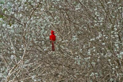 A Male Cardinal in a Sage Brush