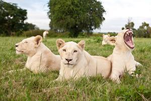 A Pride Of White Lions Sitting In The Grass With One Lioness Yawning. South Africa by Karine Aigner