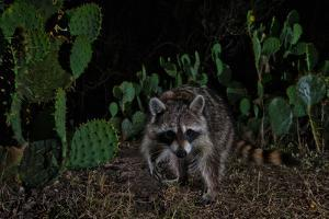 A Raccoon Strolls Among Prickly Pear Cacti at Night by Karine Aigner