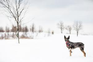 An Australian Shepherd, Cattle Dog Mix Pup Takes A Walk In The Snow by Karine Aigner