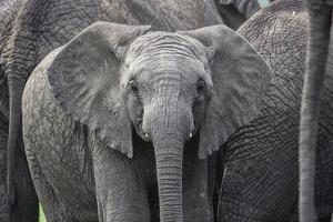 Baby Elephant by Karine Aigner