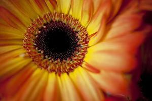 Close Up Portrait of a Gerber or Gerbera Daisy by Karine Aigner