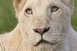 Close Up Portrait Of A White Lion Face by Karine Aigner