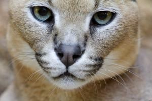 Extreme Close-Up Portrait Of A Caracal Cat by Karine Aigner