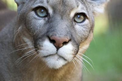 Extreme Portrait Of A Mountain Lion Cat by Karine Aigner