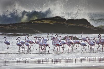 Flock Of Greater Flamingos (Phoenico Ruber), Diaz Point, Luderitz, South Atlantic Ocean, Namibia