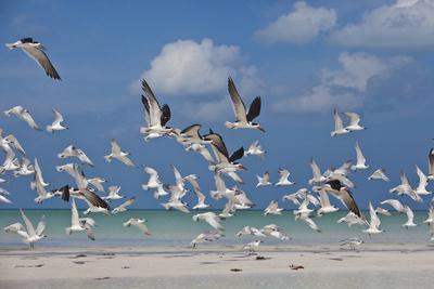 Flock Of Sea Birds, Black Skimmers & Terns, White Sand Beach, Gulf Of Mexico, Holbox Island, Mexico