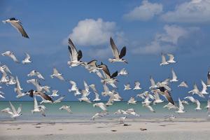 Flock Of Sea Birds, Black Skimmers & Terns, White Sand Beach, Gulf Of Mexico, Holbox Island, Mexico by Karine Aigner