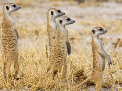 Group of Standing Meerkats, Suricata Suricatta