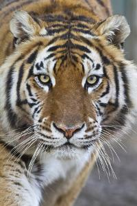 Intense Portrait of a Bengal Tiger by Karine Aigner