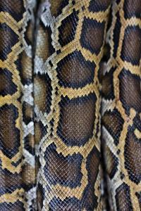 Miami, FL, The Everglades. Close Up Of Burmese Python Skin And Patterns by Karine Aigner