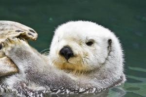 Portrait of a Cute, Furry Sea Otter Looking At the Camera by Karine Aigner
