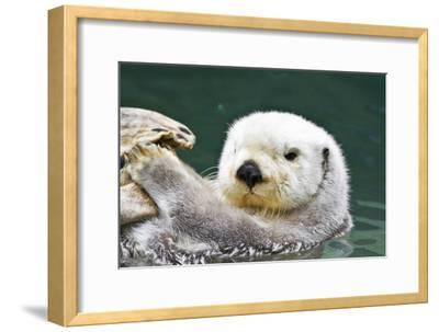 Portrait of a Cute, Furry Sea Otter Looking At the Camera