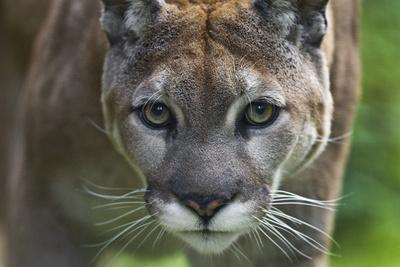 Portrait of a Female Cougar, Felis Concolor
