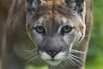 Portrait of a Female Cougar, Felis Concolor by Karine Aigner