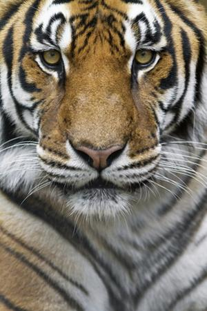 Portrait of a Male Bengal Tiger, Panthera Tigris Tigris by Karine Aigner