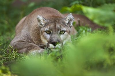 Portrait of a Male Cougar, Felis Concolor, Stalking